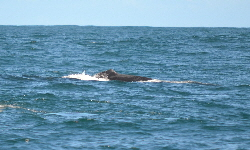 whale watching bahia